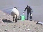 Sheep Vs Fisherman
