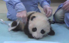 Cute Panda Taking First Steps