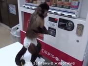Monkey Using a Vending Machine