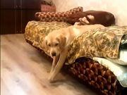 Lazy Labrador