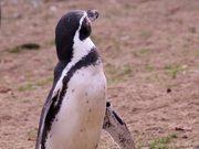 Penguin Looking Around