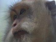 Close up of a Macaque