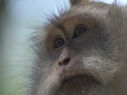 Close up of a Macaque
