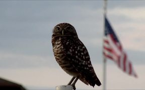 Burrowing Owl and US-Flag
