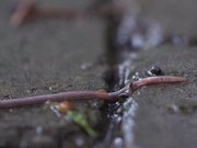 Worm in the Rain