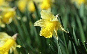 Daffodils in Spring