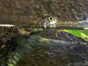 Baby Crocodile in Water