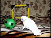 Cockatoo Soccer Goal