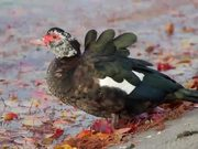 Muscovy Duck by Leafy Water