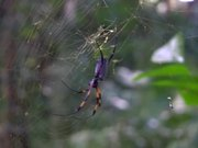 Red-Legged Golden Orb-Web Spider