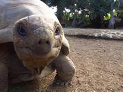 Giant Aldabra Tortoise Walking