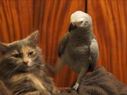 Cat Being Annoyed By A Parrot