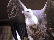 Vulture 1