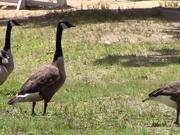 Ducks Walking By