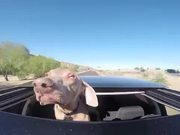 Dog Loves The Sunroof