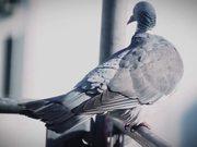 Pigeon Closeup