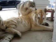 Tiger Playing With Dogs