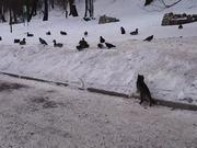 Cat Hunting Ducks Fail