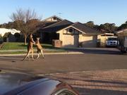 Kangaroo Street Fight