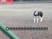 Husky Doesnt Want To Leave The Park