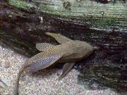 Amazon Catfish