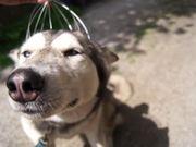 Husky Head Massage