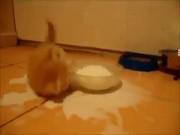 Kitten Loves Milk