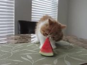 Cute Kitten Eating Watermelon