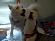 Siberian Huskies Howl Off