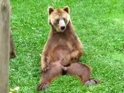 Bear Scratches His Balls