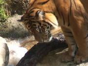 A Beautiful Tiger