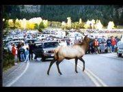 Rocky Mountain National Park:The Season of the Elk