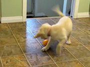 Yellow Lab Puppy Having Fun with an Orange