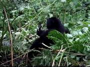 Two Baby Gorillas Wrestling