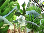 Banana Plantation in Ecuador