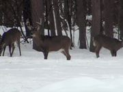 Buck Stands in the Snow Eating with 2 Deer