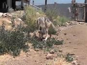 Rescue Wolf Walking On Dirt LARC