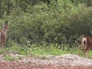 Two Deer Walking in Wilderness Julian
