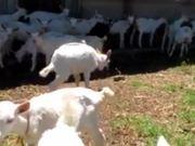 Saanen Dairy Goat Kids