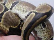 Snake Plays