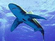 Shooting Sharks: Oceanic Whitetips