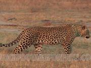 Leopard on African Plains