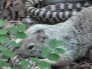 Squirrel vs. Big Snake Battle!