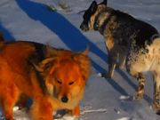 Dogs and the Snow